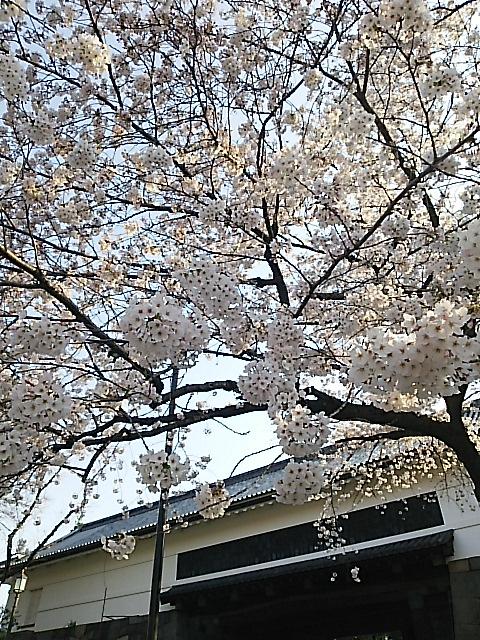 北の丸公園・千鳥ヶ淵、満開の桜