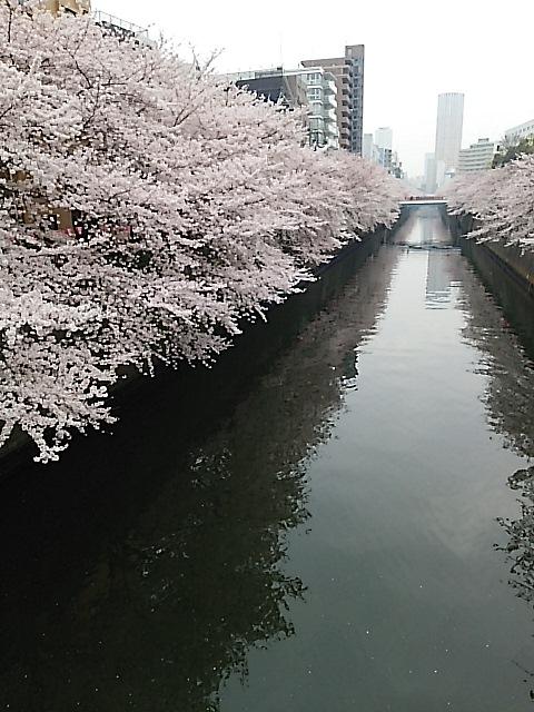 桜が満開・目黒川桜並木