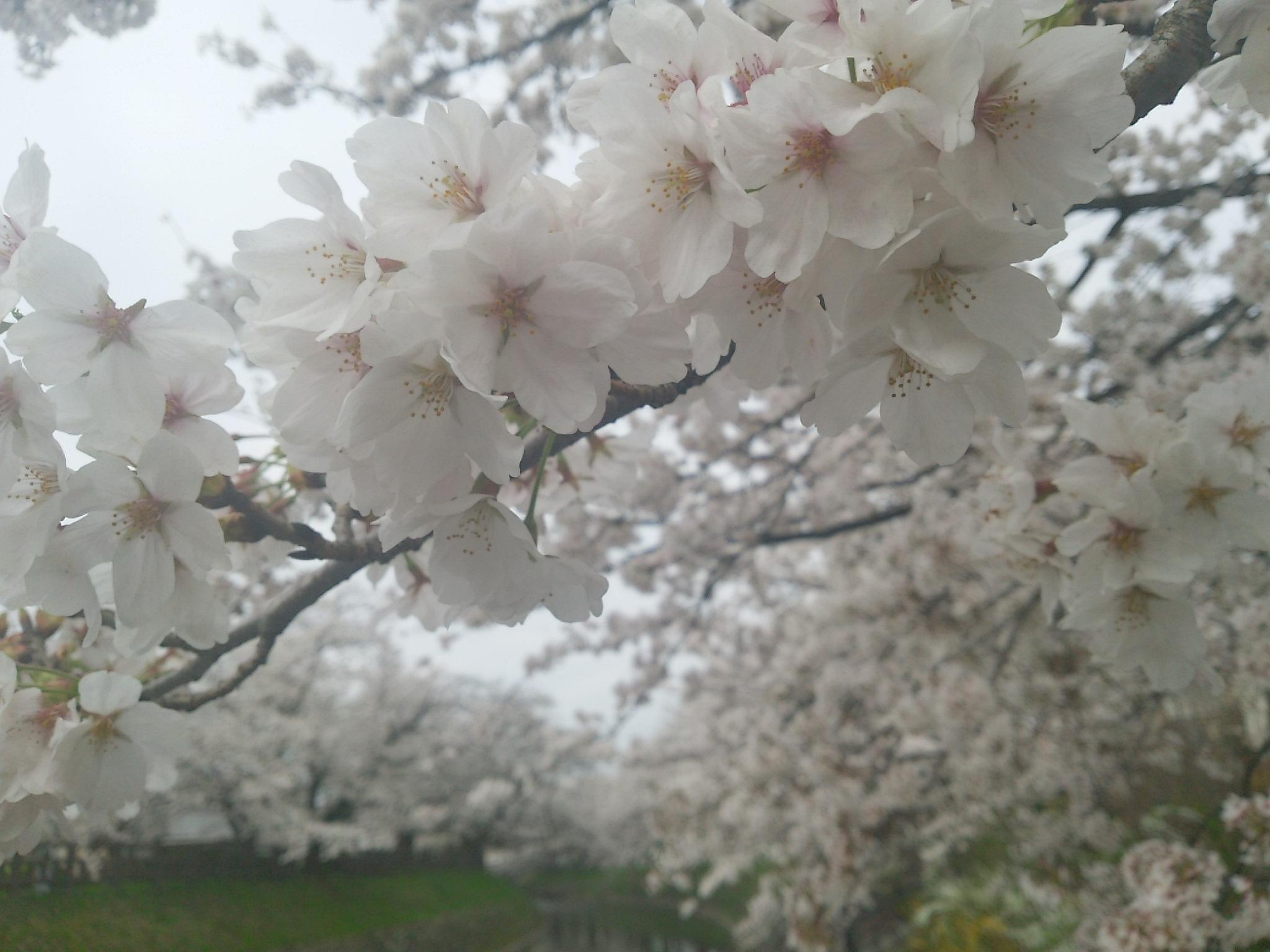 散り行く松川辺りの桜