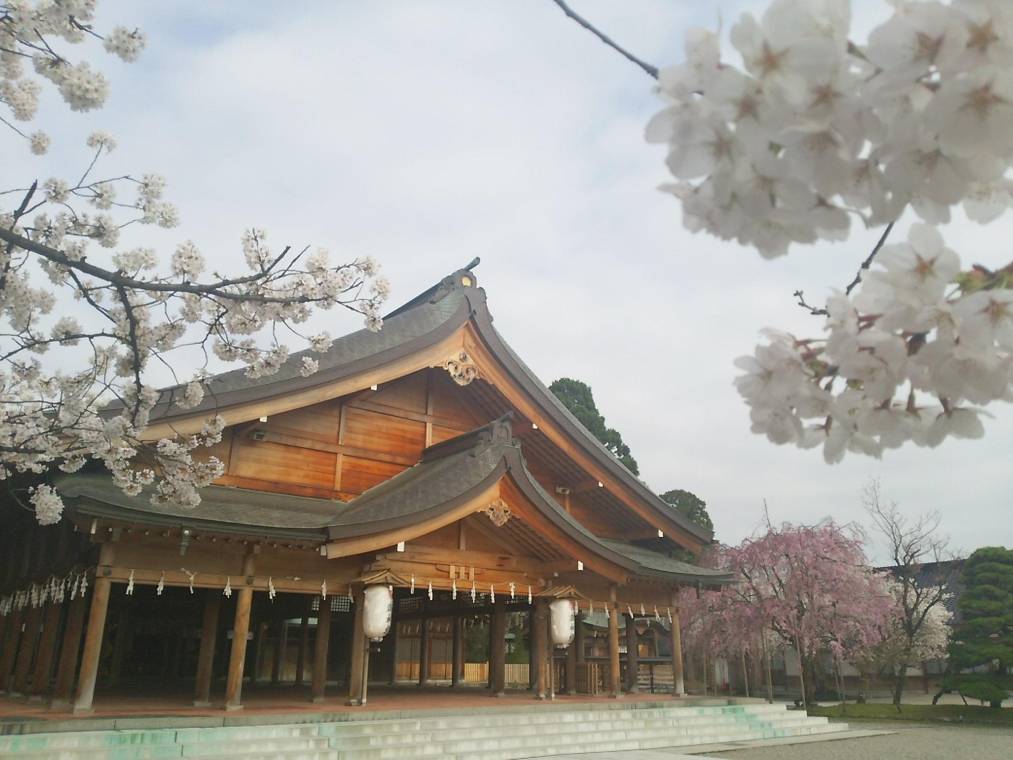 桜が満開、富山県護国神社