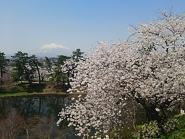 日本一美しい桜、桜が満開の弘前公園『弘前さくらまつり』