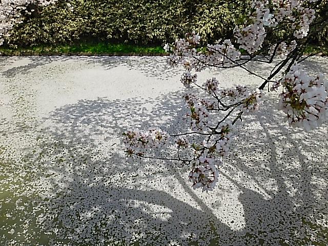 散り行く桜の美しさ、弘前公園『弘前さくらまつり』