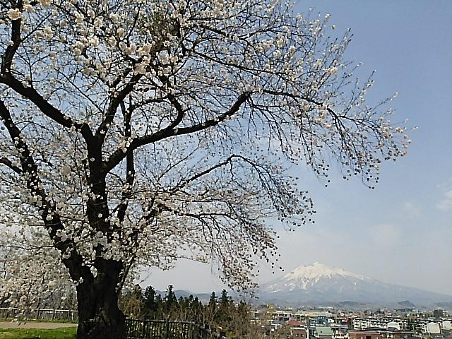 さようなら、日本一美しい桜が満開の青森県弘前市